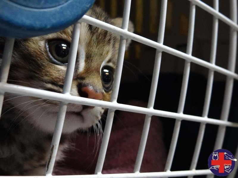A lost baby leopard cat was found in a partially developed suburb in Miaoli.
