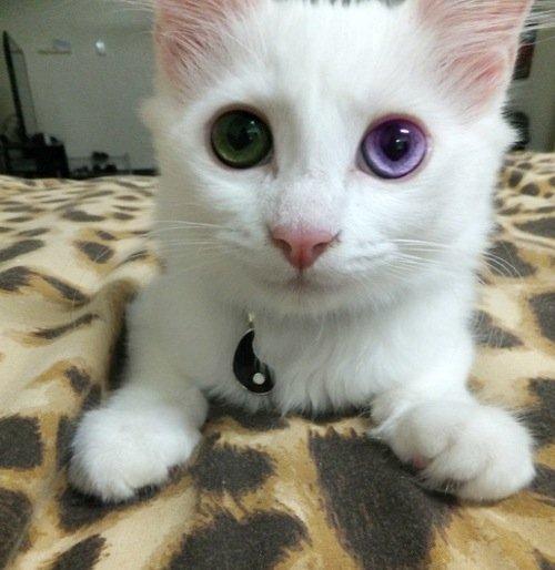 歪歪蛋 坑底居民 這隻貓的異色瞳好美..綠+紫色 原址,裡面還有好多陰陽眼